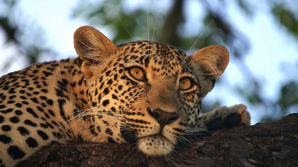leopard kruger