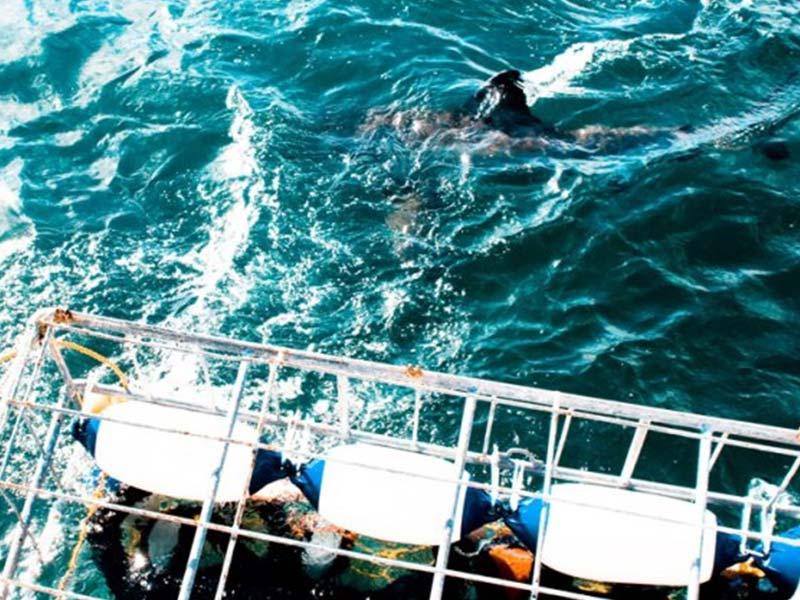 White shark diving tour