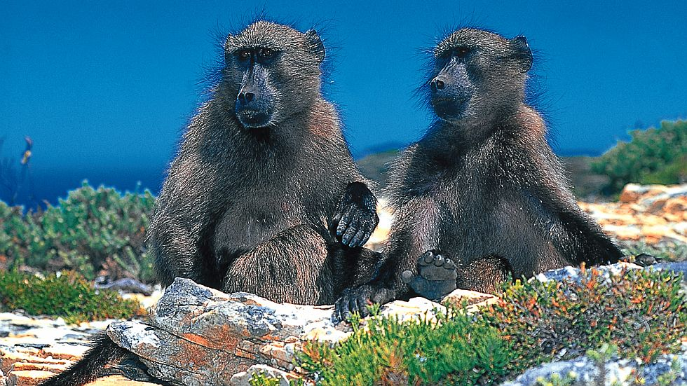 Cape-Peninsula-Baboons-Large