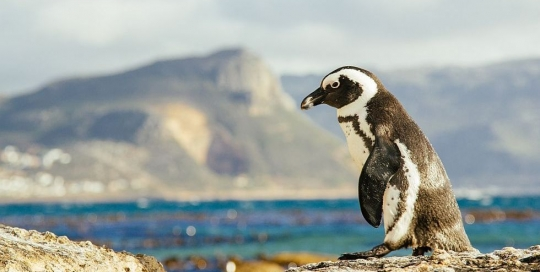 African Penguin at Boulders